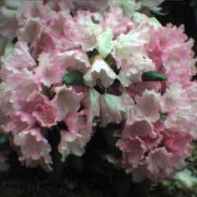 Rhododendron 'Kalinka' - Find Azleas,Camellias,Hydrangea and Rhododendrons at Loder Plants